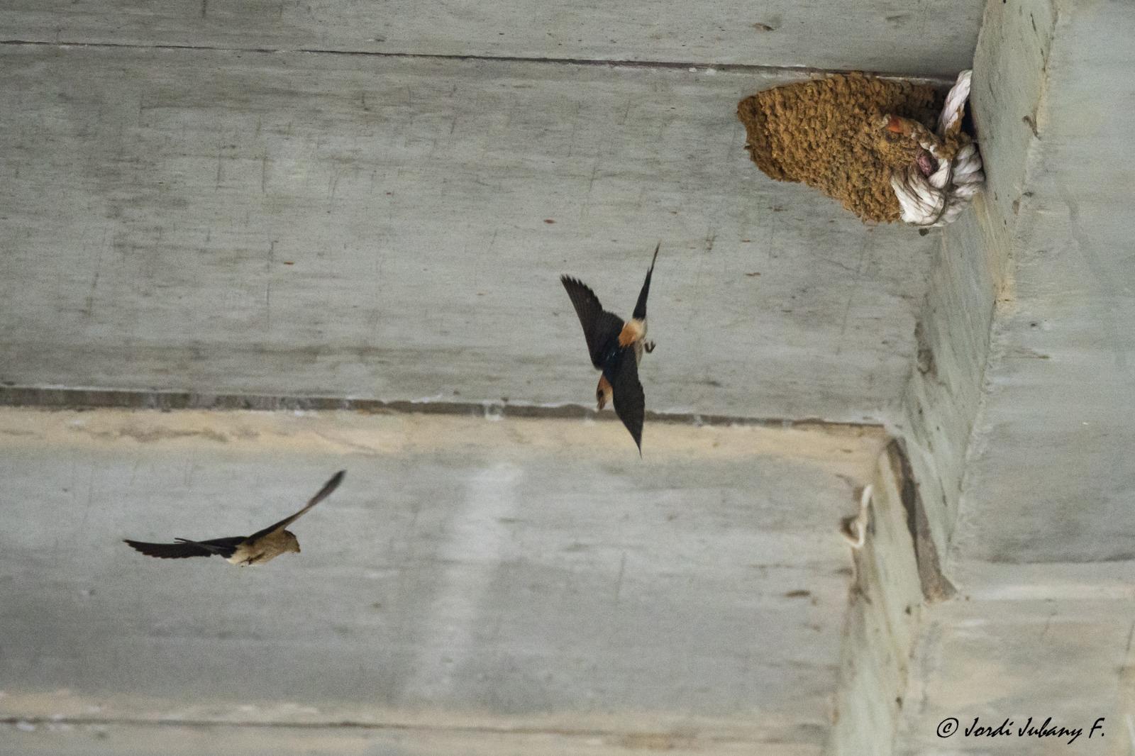 Imatge: oreneta cua-rogenca i altres espècies properes en vol
