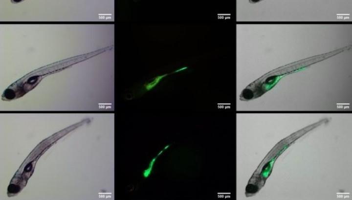 Esquema dels nanoplàstics (en verd) acumulats en embrions de peix zebra.