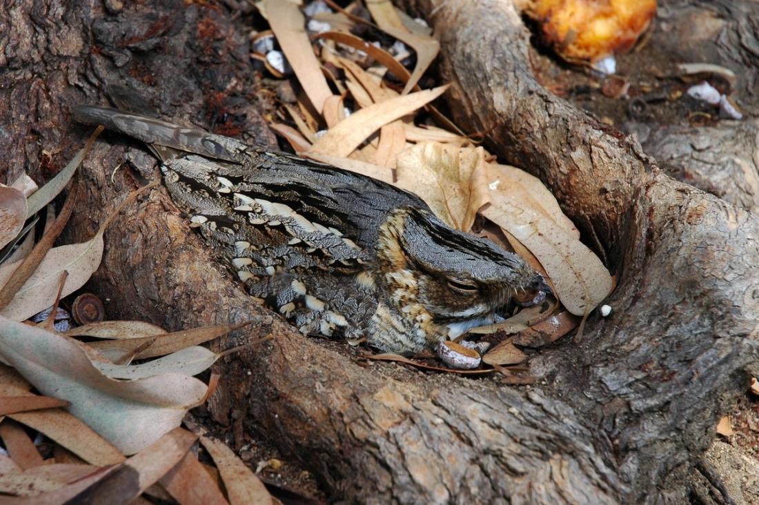 Siboc a la soca d'un arbre. Autor: Enric Badosa