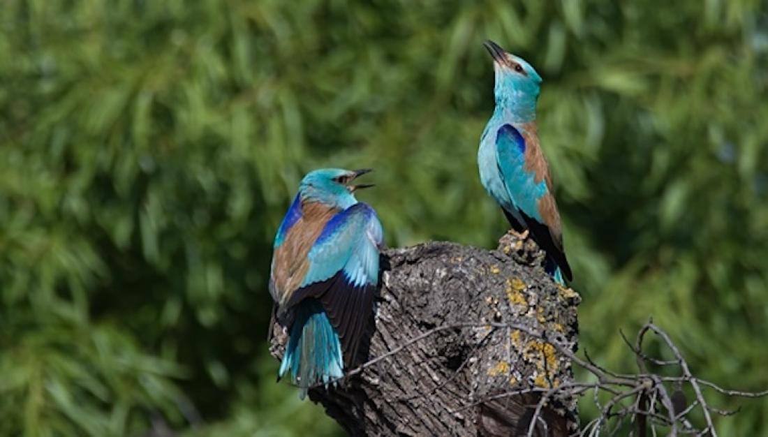 Gaig blau, Coracias garrulus, inclòs a l'Atles dels ocells nidificants d'Europa. Imatge: Xavier Riera.