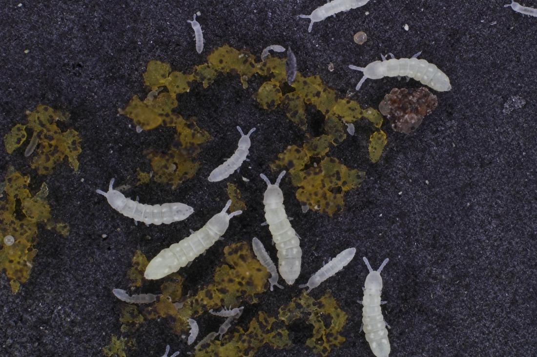 Espècie: Protaphorura fimata. Foto: Universitat d'Aarhus