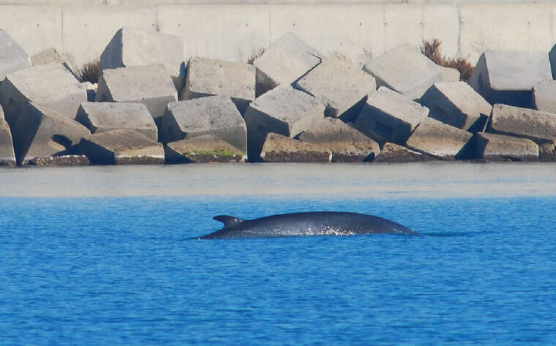 Exemplar de baena rorqual davant del litoral barceloní | ACN
