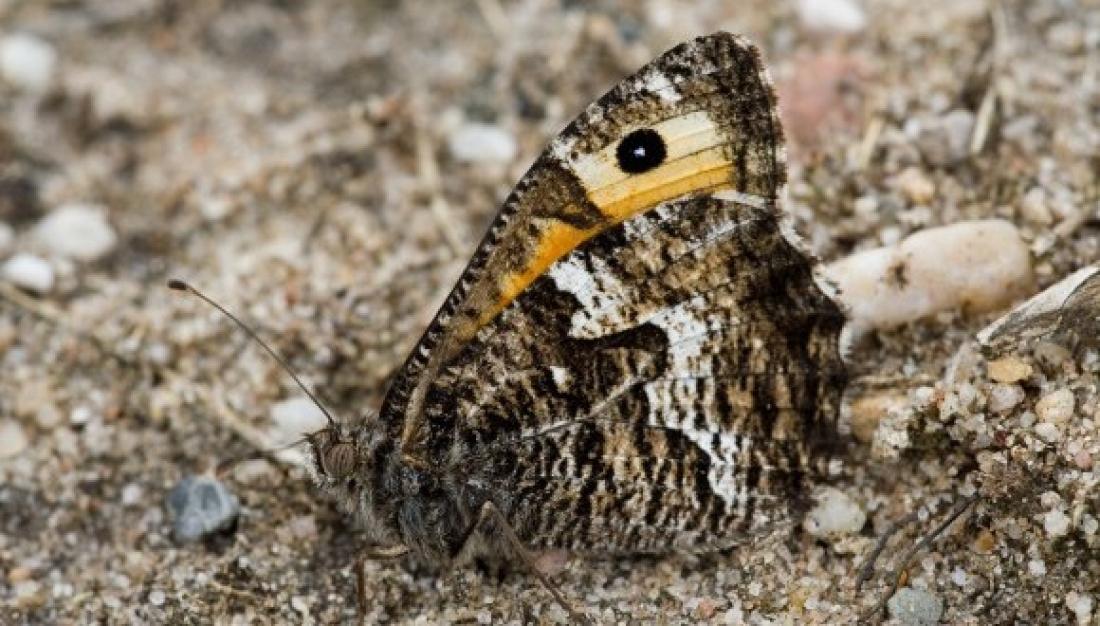 El faune lleonat (Hipparchia semele) és una papallona que no s'havia vist encara a la ciutat de Barcelona a través de l'uBMS
