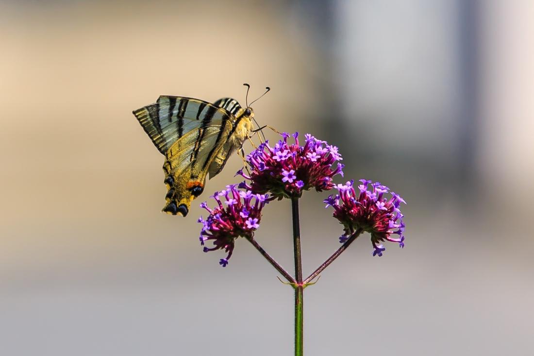 Exemplar de papallona zebrada de Murray Foubister (Creative Commons CCBY)