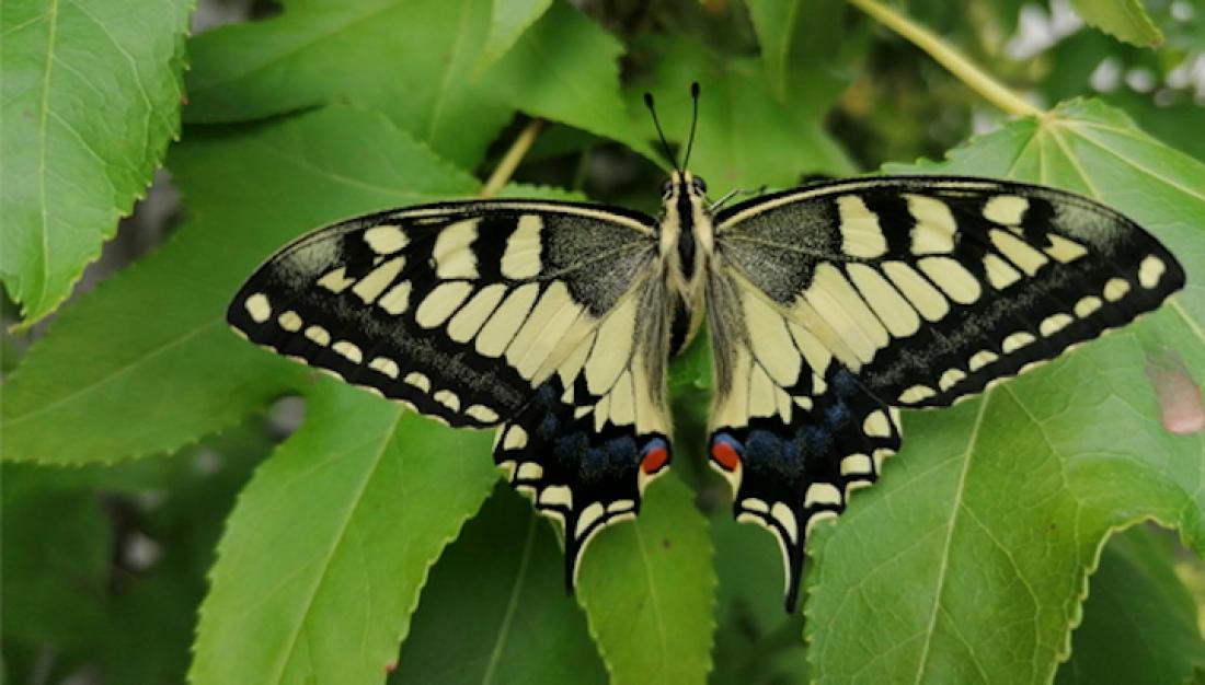 Exemplar de papallona reina (Papilio machaon), una de les espècies més espectaculars que es pot veure als parcs i platges metropolitans de Barcelona. Observat i fotografiat pel voluntari del mBMS Pere Soto al parc del Pinetons (Ripollet) el 15 de juliol de 2020.
