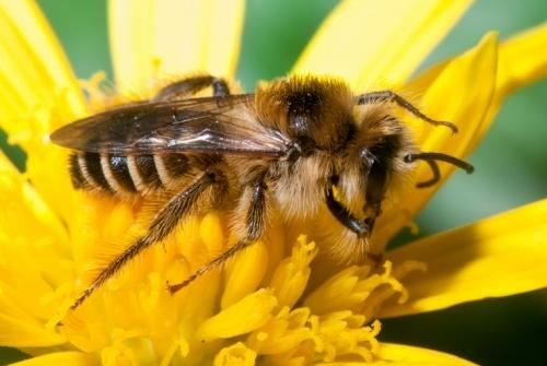 Les abelles són imprescindibles per a la pol·linització | Pixabay