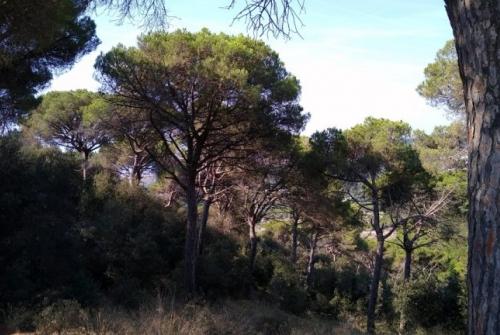Aspecte d'una pineda de pi pinyoner a prop del litoral barceloní. M.Cascante