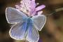 Un exemplar de Polyommatus icarus | Xavier Sisquella