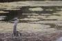 Un exemplar de bernat pescaire nascut a la conca del Besòs | Observatori Rivus
