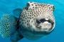 Peix globus  Pixabay