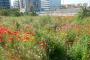 Prat florit al parc de la Fontsanta (Sant Joan Despí i Esplugues de Llobregat)