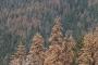 Pins i avets afectats per la sequera de 2015 a Sequoia National Park (Califòrnia, EUA). Autor: Jordi Martínez